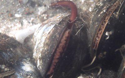 Mød dyrene i fjorden – fortællinger om muslingerne
